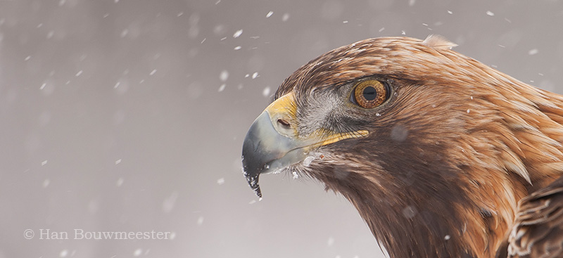Steenarend; Golden Eagle; Aquila chrysaetos; Steinadler