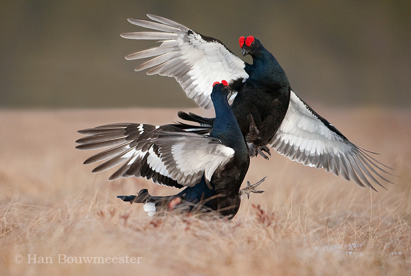 Vechtende korhanen; cockfighting Black Grouse