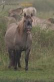 Konickpaard